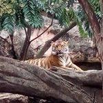 虎さん(上野動物園)