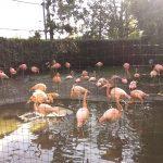 ふらみんごさん(上野動物園)