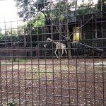 きりんさん(上野動物園)